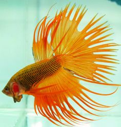 I'm certainly seriously getting excited about trying these betta fish ideas. Freshwater Aquarium, Aquarium Fish, Oscar Fish, Betta Fish Types, Underwater Animals, Cool Fish, Beta Fish, Siamese Fighting Fish, Little Fish