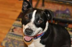 Meet Louie, a 1-2 year old border collie mix that weighs about  35 lbs. Louie smiles a lot and is undoubtedly the happiest shelter survivor that we've ever met. Louie is a teeny, tiny whirling dervish of energy. He loves to play with anyone and everything and then, when he runs out of buddies, he's happy to entertain himself. It's impossible to describe how much you'll love this dog! Louie is housetrained, great with other dogs, a perfect running buddy, and he's the cutest little cuddler…