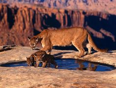 Keep Your Distance: Momma Lion with Cubs, Chihuahua, Mexico - Pixdaus