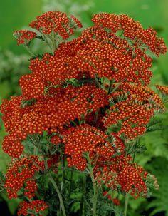 Achillea millefolium 'Feuerland'