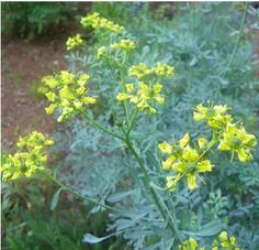 Rue is one of the oldest and garden plants cultivated for medicinal use introduced in England by the Romans, much used by the Ancients Used in small amounts rue can ease headaches, especially those caused by nervous tension. The leaves can be applied externally in poultice form to relieve sciatica.