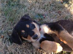 Mountain dog :) Cutie !