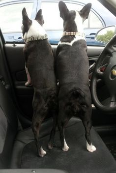 Are we there yet??  (dont they have cute butts!) The cutest dog butts in the world are on the back of a Boston!