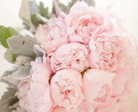 soft pink peonies