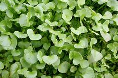 Amanda Eastman In the spring I let the miner's lettuce come up everywhere