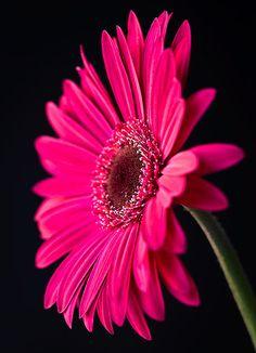 ✯ Pink Gebera