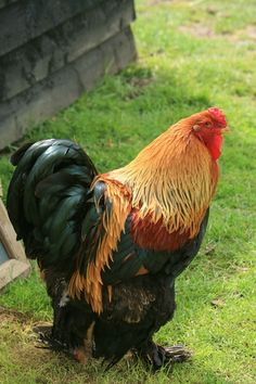 Rooster~ Look at all that handsomeness