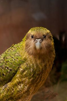 Kakapo Parrot - Flightless Parrot - Nocturnal Parrot- From New Zealand - photo by zealandia All Birds, Little Birds, Love Birds, Beautiful Birds, Flightless Parrot, Kakapo Parrot, Tropical Birds, Colorful Birds, Exotic Birds
