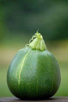 Eight Ball Zucchini - growing these in the garden now