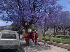 Jacaranda trees in full blossom Photo by Anna de Voogt — National Geographic Your Shot