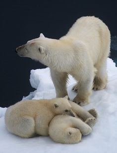 Amazing and remarkable photography series of Polar Bears (mother and young cubs) by Dennis Bromage.