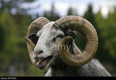 close-up-view-of-big-horn-ram