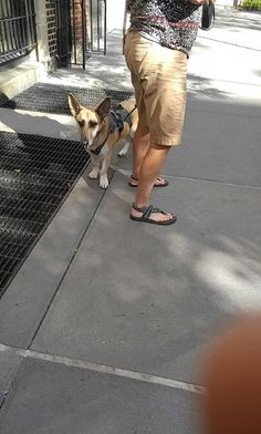 I ran into a German Shepherd/Corgi mix today. She's a recent rescue and is terrified of everything. http://ift.tt/2cguDwo
