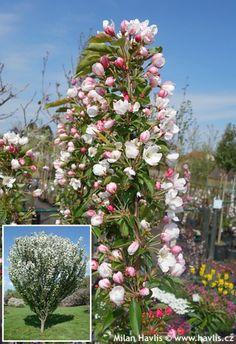 "Malus ""ADIRONDACK"" crabapple Hydrangea Landscaping, Garden Landscaping, Backyard Trees, Deciduous Trees, Wooden Garden, Small Trees, Back Gardens, Spring Garden, Green Flowers"