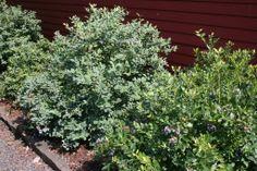 Vaccinium Corymbosum Bountiful Blue Blueberry Butterfly Bush High Country Gardens Best Perennials