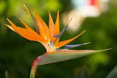 Strelitzia, Oiseau de paradis