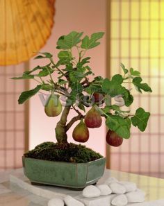 Bonsai trees can be sold at a vast price in the industry. Without the right size pot, a Bonsai tree cannot survive. Bonsai trees aren't grown for the aims of food manufacturing, medicinal uses, or for creating landscape. Plant is… Continue Reading → Bonsai Ficus, Bonsai Fruit Tree, Dwarf Fruit Trees, Mini Bonsai, Indoor Bonsai, Fig Tree, Trees To Plant, Juniper Bonsai, Indoor Fruit Trees