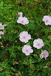 Click to view large photo of Striated Cranesbill (Geranium sanguineum 'var. striatum') at Chalet Nursery