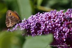 A Gatekeeper butterfly, also known by its scientific name of Pyronia tithonus, feeding of Buddleja davidii.