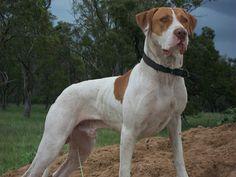 Bull Arab Dog. Pig Hunting Dogs, Wild Boar Hunting, Bull Arab Dog, Pet Dogs, Dogs And Puppies, Doggies, Australian Dog Breeds, Rare Dog Breeds, Real Dog