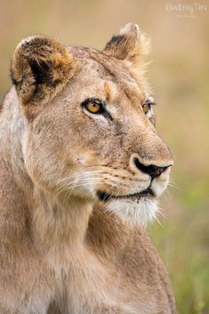 Charleston Lioness by Ale Olivieri Beautiful Cats, Animals Beautiful, Cute Animals, Baby Animals, Beautiful Pictures, Afrika Tattoos, Anime Lion, Big Cat Species, Lioness And Cubs