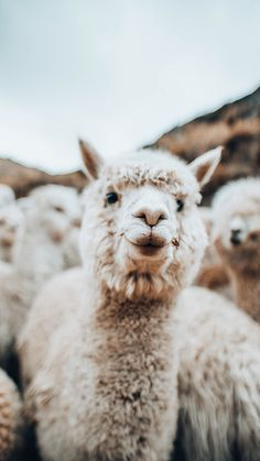 lama animal The Ultimate Guide to Peru - Central America amp; Baby Animals Super Cute, Cute Little Animals, Cute Funny Animals, Alpacas, Images Lama, Nature Animals, Animals And Pets, All Animals Photos, Happy Animals