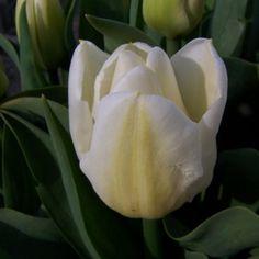 Triumph Tulip 'Calgary'