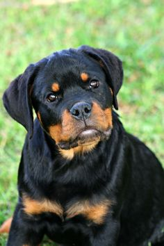 Rottweiler Love, Rottweiler Puppies, Large Dog Breeds, Large Dogs, Dog Anatomy, Search And Rescue Dogs, Beautiful Dogs, Mans Best Friend, Best Dogs