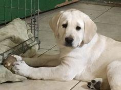 Labrador Retriever puppy for sale in NORWALK, CT. ADN-66640 on PuppyFinder.com Gender: Female. Age: 5 Months Old