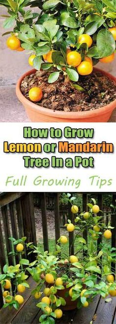 Simple instructions on growing your own citrus fruits.