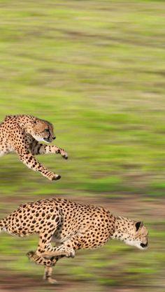Fantastic cheetahs! - via Amanda Lohan's photo on Google+