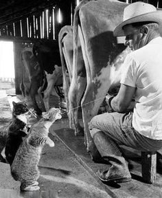 the farmer is squirting cow milk into the cat's mouth....amazing