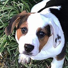 Yardley, Pennsylvania - Basset Hound. Meet Fauna B, a for adoption. https://www.adoptapet.com/pet/20695281-yardley-pennsylvania-basset-hound-mix