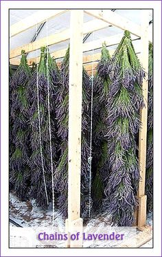 chain of lavender