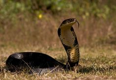 King Cobra is one of the most feared snakes in the world and with good reason. Although it is not the most poisonous snake in the world, it is definitely the longest poison snake around. It has enough venom in a single bite to take down an elephant and that should be reason enough to be afraid of it.
