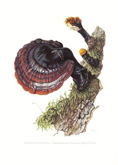 Mushrooms - lingzhi mushroom or reishi mushroom, ganoderma lucidum, original vintage lithograph, 1962