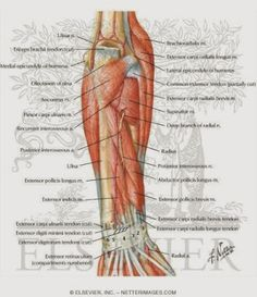 Anatomy Arm Nerves | Anatomy Picture Reference and Health News