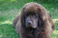 Dog - Chien - Terre-Neuve - Ilewoo on Yummypets.com