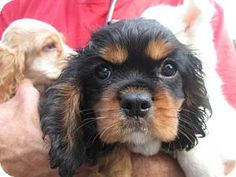 6/27/14 North Brunswick, NJ - Cavalier King Charles Spaniel. Meet Chester, a puppy for adoption. http://www.adoptapet.com/pet/11058618-north-brunswick-new-jersey-cavalier-king-charles-spaniel
