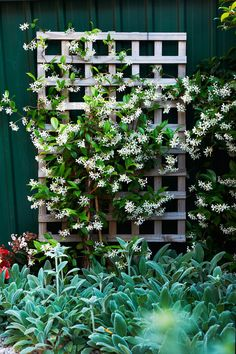 **Choosing the right spots for your climbing plants:**     When planting a climber, consider how much sun or shade they will receive. Sun-loving climbers in shady spots will bolt to the top and leave the fence bare.     The best choice for shady fences is fragrant star jasmine (*Trachelospermum jasminoides*), pictured above. Other shade lovers are climbing hydrangea (*Hydrangea petiolaris*), creeping fig and ivy.