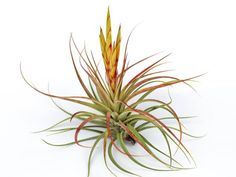 The impressive Concolor air plant has sweeping leaves and vibrant color. Shop air plants (tillandsias) and terrariums from Air Plant Design Studio