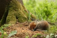 Baby #fox #Animal Enjoying a snooze in the warm afternoon sun