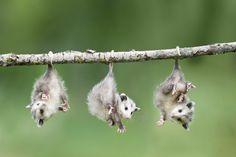 Opossum | Опоссум