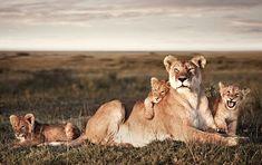 Lion Family Portrait