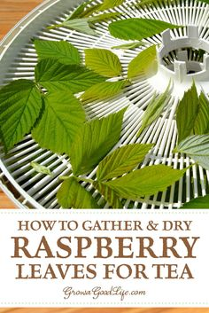 How to Harvest & Preserve Red Raspberry Leaf Tea How to Gather and Dry Raspberry Leaves for Tea: Raspberry leaf tea is delicious and resembles a light, green tea without the caffeine. See how to collect and dry red raspberry leaves for tea. Healing Herbs, Medicinal Plants, Natural Healing, Red Raspberry Leaf, Raspberry Tea, Dried Raspberries, Homemade Tea, Dehydrator Recipes, Tea Blends