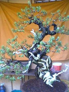 Large Website located in the UK, offers Bonsai Art, Species guides for Bonsai trees, Bonsai galleries and Bonsai Techniques.