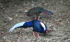 Swinhoe's Pheasants