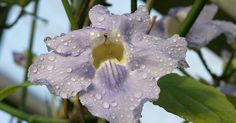 Thunbergie-a-grandes-fleurs Thunbergia grandiflora Bengal-clockvine