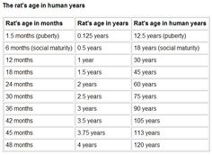 rat to human age conversion chart...rats life expectancies are not that long due to the rat to human years ratio.....I wish it wasn't so....but it is .