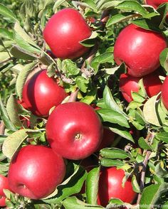 Two new apple varieties, RubyFrost (pictured) and SnapDragon, were introduced to the New York market this month by Cornell University and New York Apple Growers. Photo courtesy Kevin Maloney (HobbyFarms.com)